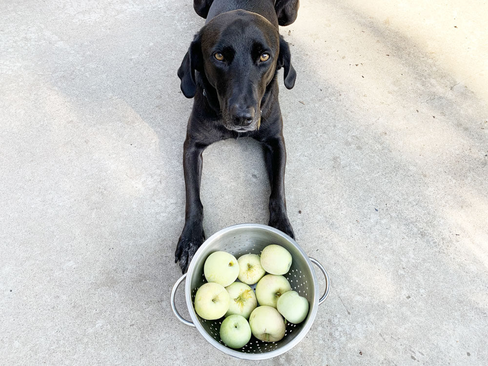 Pilot the dog with apples